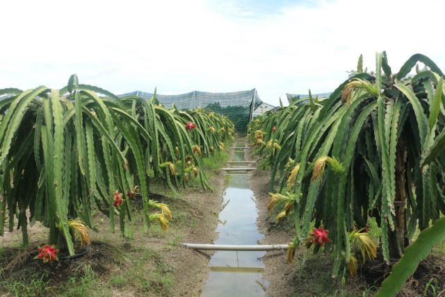 Organic dragon fruit cultivation expands in Long An