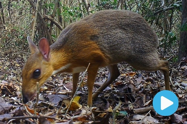 Rare deer-like species rediscovered after nearly 30 years in Việt Nam