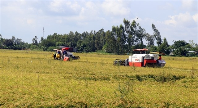 Thousands of hectares of rice affected by salinity diseases in Kiên Giang