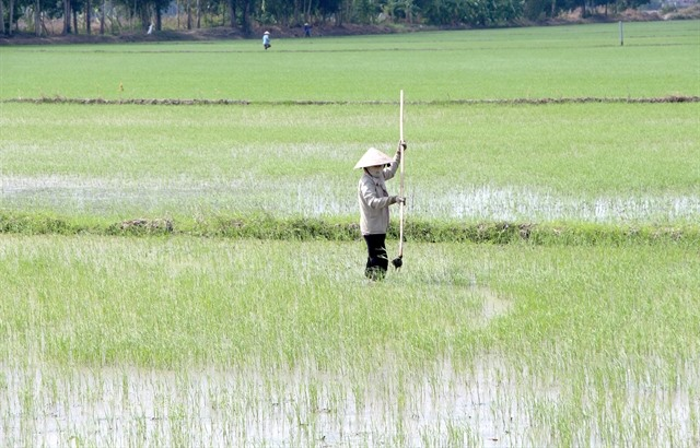 Mekong Delta authorities ask farmers to stop sowing winter – spring rice