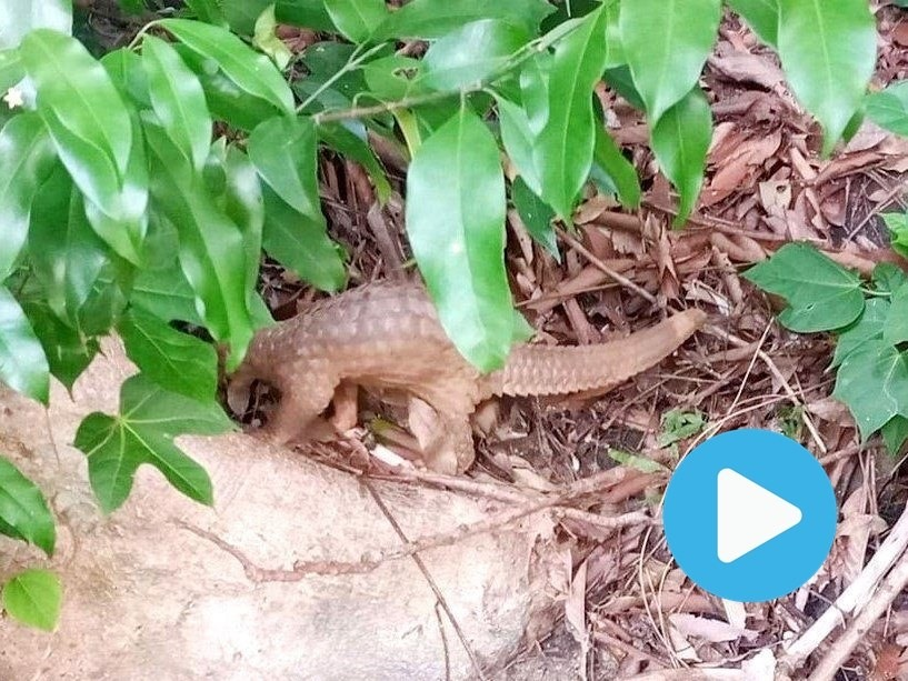 Endangered pangolin released to nature of Chàm Islands