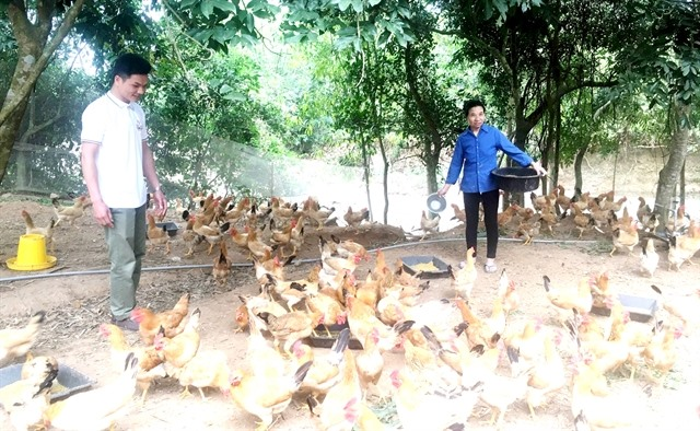 Organic chickens and organic success for young man in Quảng Bình