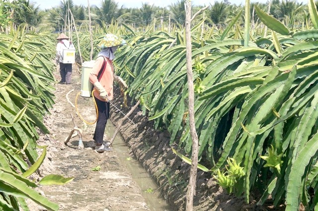 Tiền Giang to producemore dragon fruitas part of climate-change adaptation plan