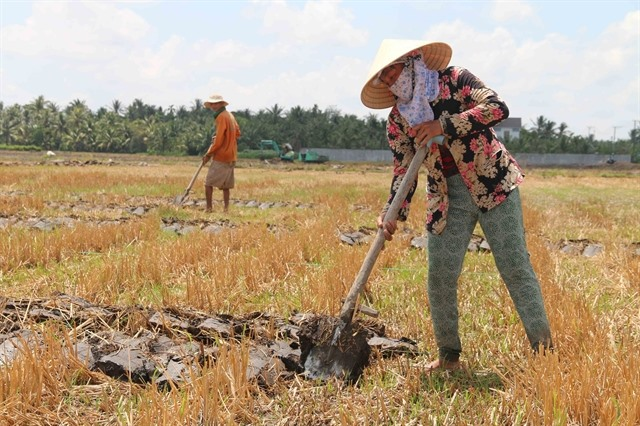 Trà Vinh turns to other crops on unproductive rice sugarcane fields