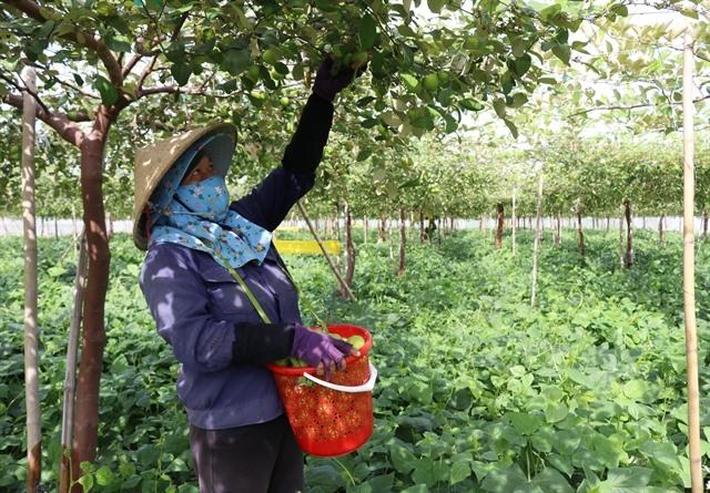 Qualityjujube yields high profits forNinh Thuận farmers