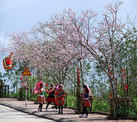 Enjoy a beautiful spring cherry blossom paradise at Fansipan