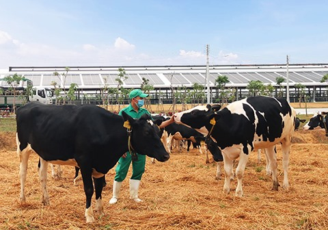 Vinamilk imports more than 2100 dairy cows from US