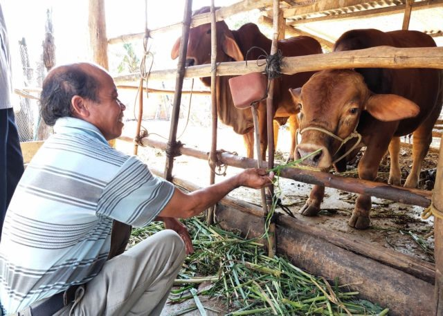 Gia Lai seeks to improve quality of beef cattle through cross-breeding