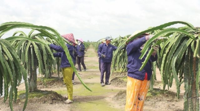 Off-season dragon fruit fetches high price for Tiền Giang farmers