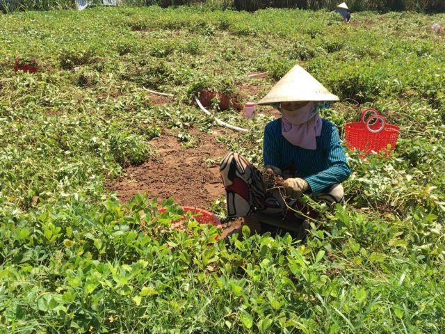 Trà Vinh produces more peanut seeds in rainy season to meet demand
