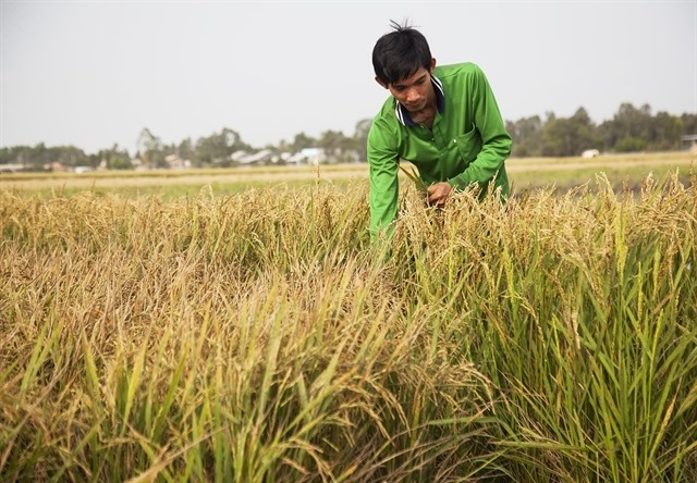 Deltas start-up farmer in search of organic rice
