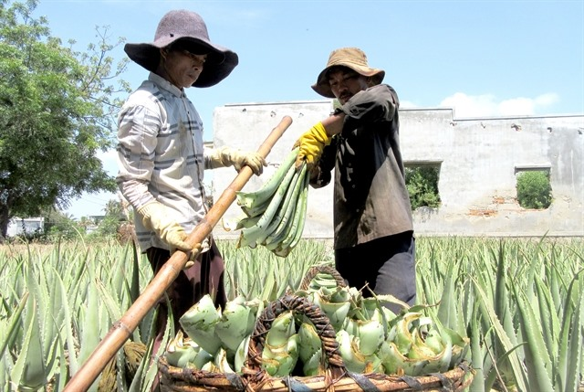 Hot weather sends demand for aloe vera soaring farmers laughing all the way to the bank