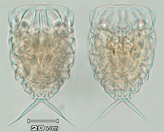 Five new rotifer species found in central Việt Nam