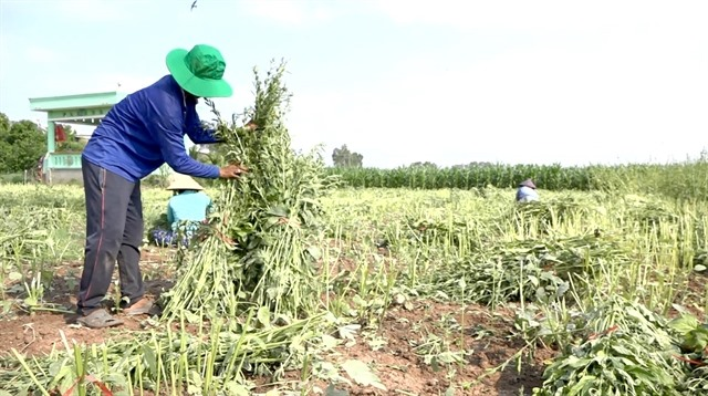 Đồng Tháp rice farmers switch to other higher value crops