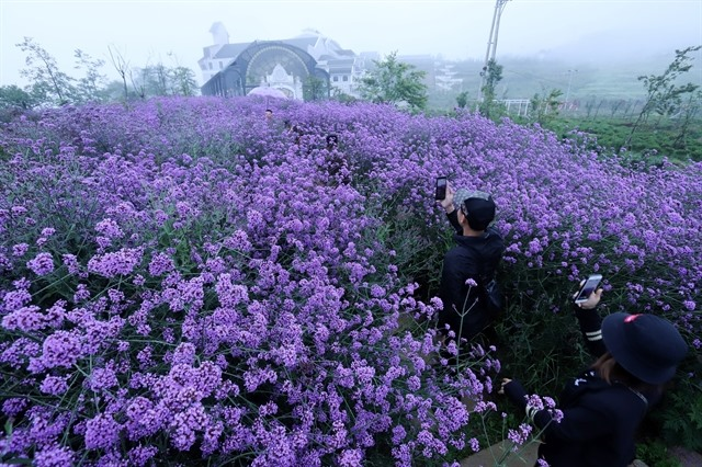Violet flowers shine on hill in Sa Pa