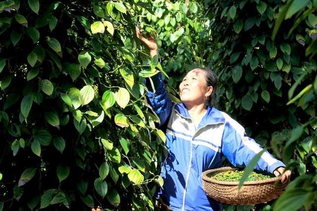 VN unlikely to reach pepper export target this year