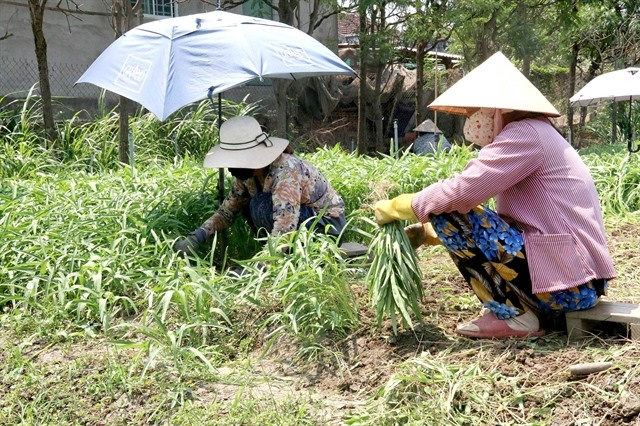 Tiền Giang expands vegetable area output