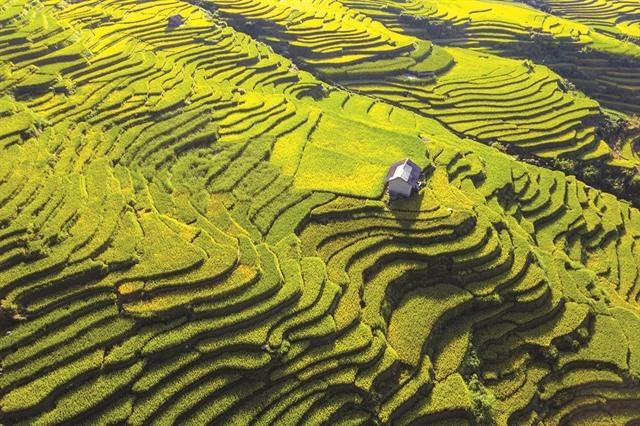 Yellow season arrives in northwestern region