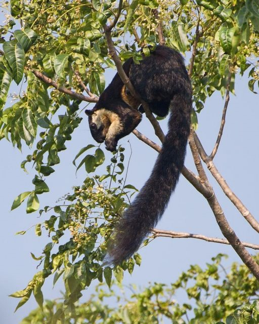 The Black Squirrel in Việt Nam dwells solely on one island