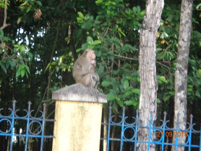 Tây Ninh moving wild monkeys to national park