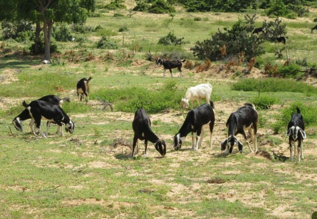 Ninh Thuận Province finds goat farming lucrative to expand