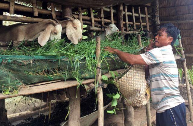 Trà Vinh farmersbreedmoregoats that meet bio-safety standards