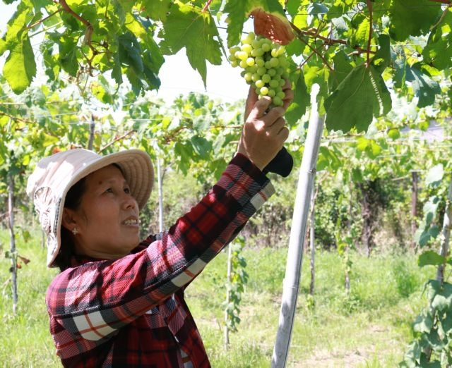 Ninh Thuận farmers grow more foreign grape varieties