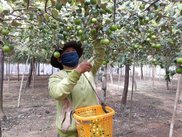 Ninh Thuận expanding jujube cultivation setting up value chain for fruit