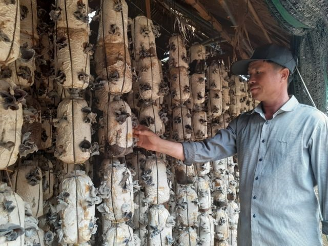 Indoor mushroom cultivation brings high income