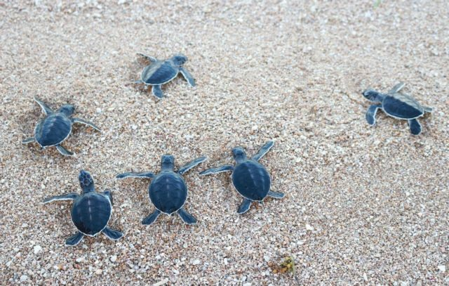 National park releases rare sea turtles into sea