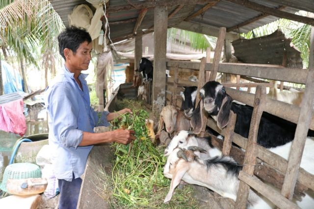 Goat breeding brings high incomes to farmers in Bến Tre