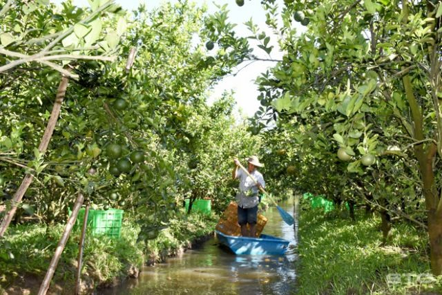 Sóc Trăngs largest fruit-growing district goes organic