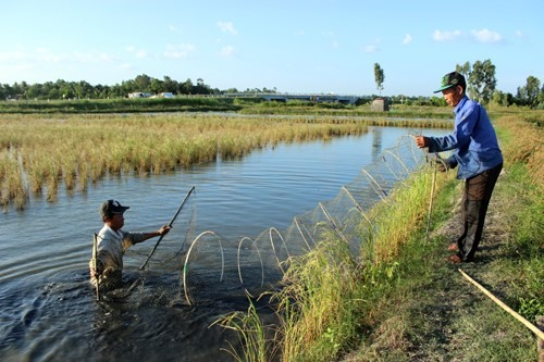 Cà Mau expands cultivation of giant river prawns rice in same rice fields