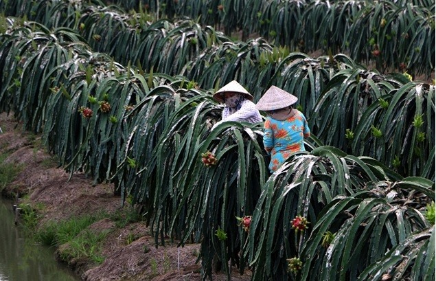 Farmers in Mekong Delta province continue switch to high-value crops