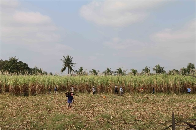 Mekong district tells sugarcane farmers to consider other crops to sustain income
