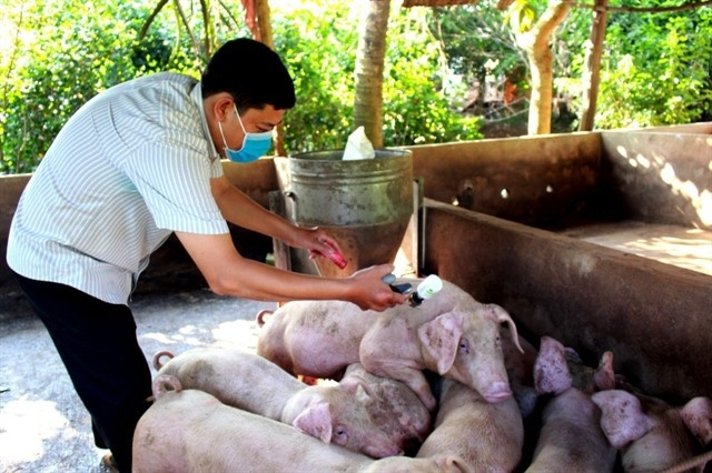 Provinces vaccinate livestock against foot-and-mouth disease swine flu