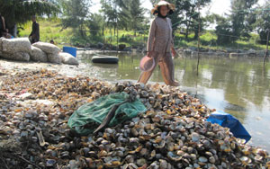 Pollution wipes out oyster farms