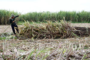 Cane farmers struggle to sell crops