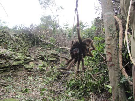 Rare tarantula found  in central mountains