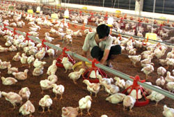 Low chicken prices may lead to shortages