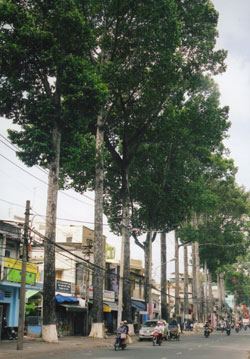 Poison kills ancient street trees
