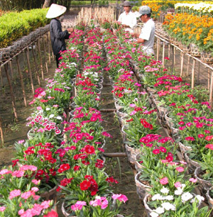 North looks to south to supply flowers for Tet