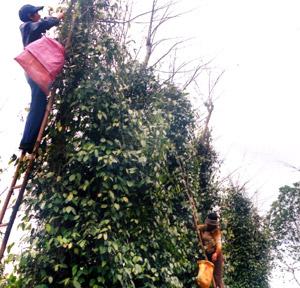 Pepper farms lack sustainability