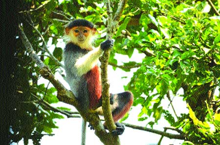 Langurs live on in Gia Lai