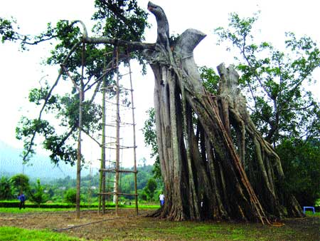 Illustrious trees suffer from lack of care ­