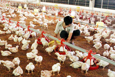 Poultry farmers struggle amid bird flu fears