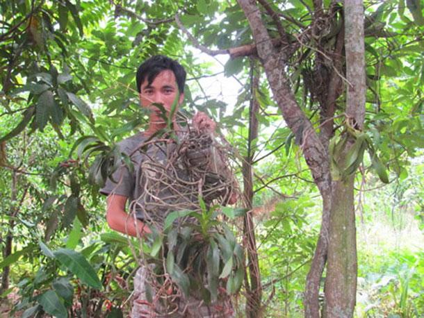 Orchid harvesting a perilous pursuit