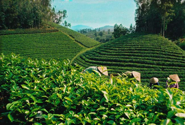 Tea export turnover up due to price rise
