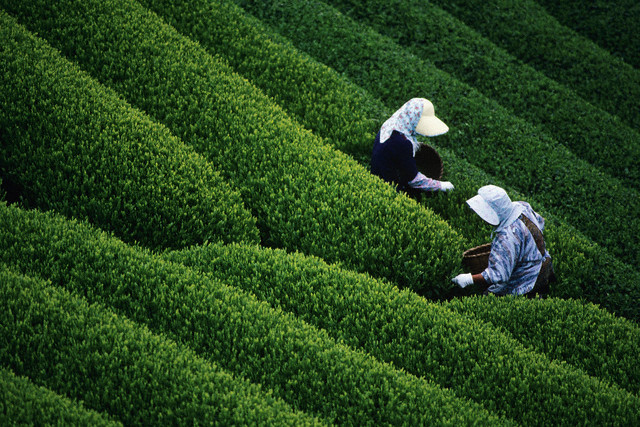 Tea brands need quality boost to expand exports