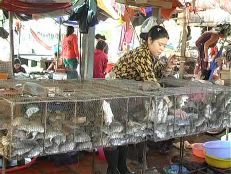 Boom town rats: Bush rats are sold abundantly in markets across the southeast of Viet Nam. Rat meat has become a specialty of the area.
